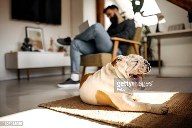tired bulldog yawning while his owner is sitting in the background - english bulldog stock pictures, royalty-free photos & images