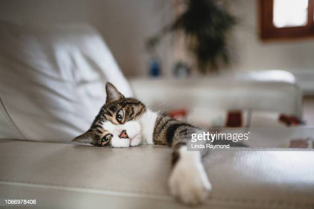 tired cat on an armchair - laziness stock pictures, royalty-free photos & images