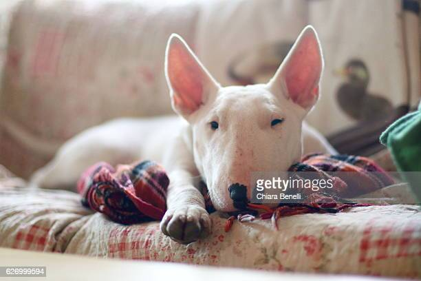 tired dog - bull terrier stock photos and pictures