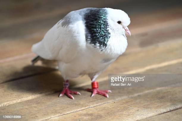 tired dove resting on home deck after a long flight - rafael ben ari ストックフォトと画像