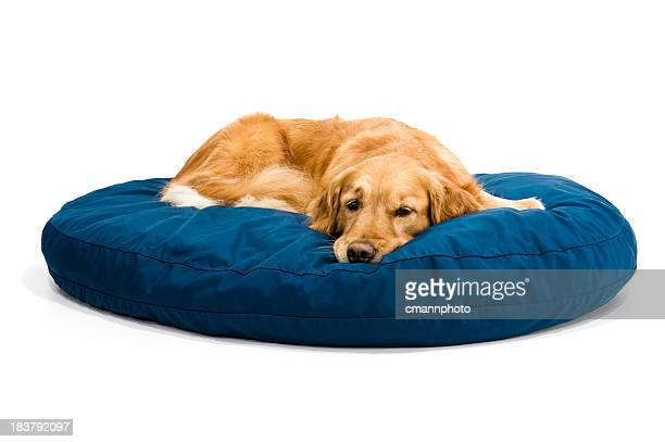 A tired golden retriever lying on a blue doggy bed