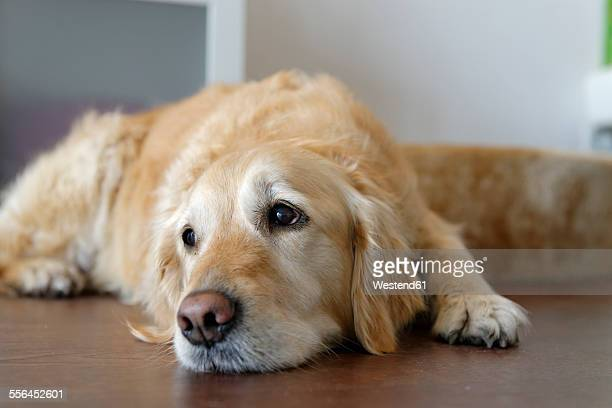 tired golden retriever lying on wooden floor - golden retriever stock photos and pictures