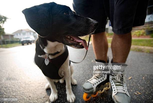 tired looking dog standing beside man with roller skates. - manchester new hampshire stock pictures, royalty-free photos & images