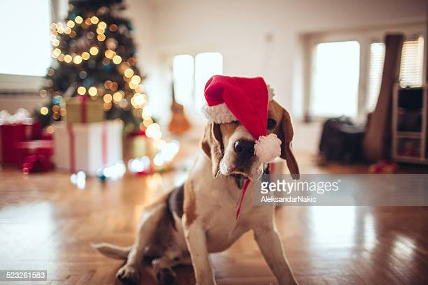 tired of decorating for new year's eve - christmas dog stock pictures, royalty-free photos & images