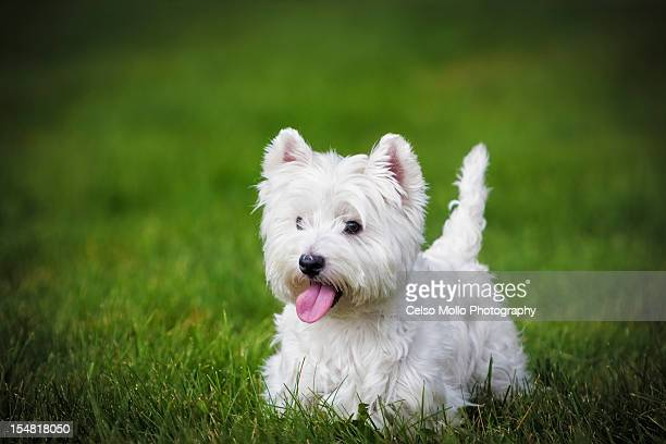 West Highland White Terrier Stock