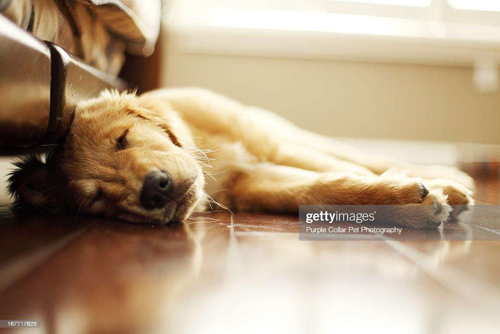Tired Puppy Sleeps Inside : Stock Photo