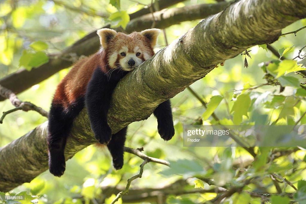tired red panda : Stock Photo