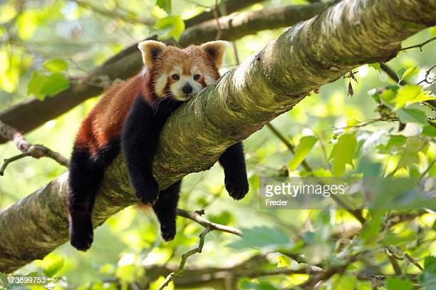 tired red panda - panda animal stock photos and pictures