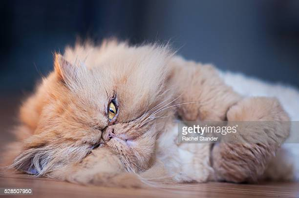 Tired Red Persian Cat Lying on Wood Floor