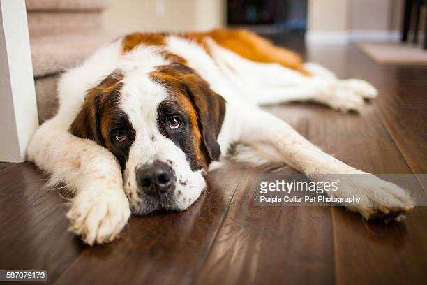 Tired Saint Bernard Dog Relaxing Indoors
