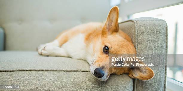 tired welsh corgi dog rests on chair indoors - pembroke welsh corgi stock pictures, royalty-free photos & images
