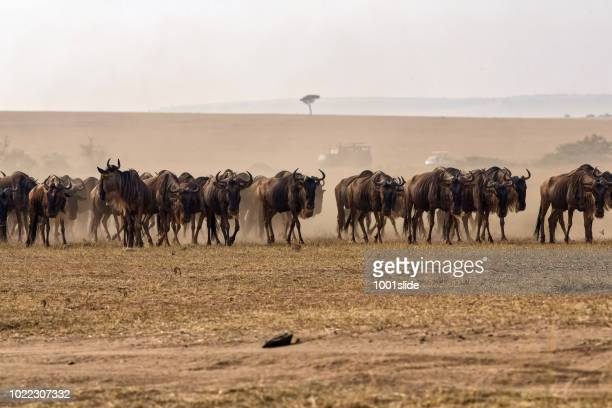 Tired Wildebeests at Great Migration - They are coming from Serengeti