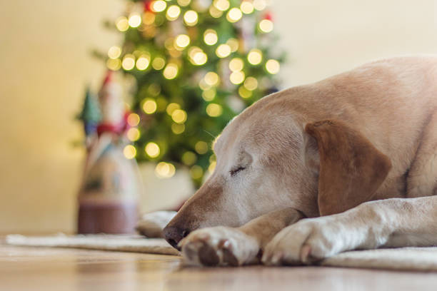 Tired yellow Labrador after Christmas