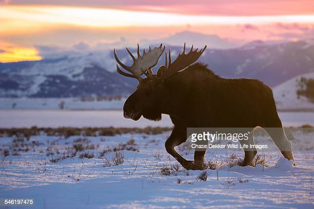 titan of winter - elk stock pictures, royalty-free photos & images