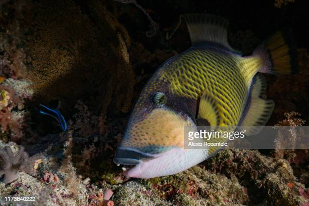 A titan trigger fish is swims close to the reef on May 03 2017 off the Red Sea Egypt