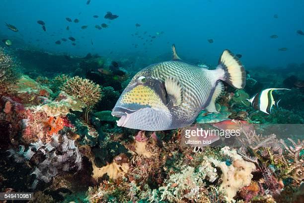Titan Triggerfish Balistoides viridescens Amed Bali Indonesia
