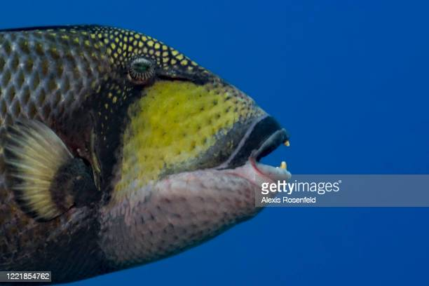 Titan triggerfish is one of the most impressive fish found in the IndoPacific on February 25 Moorea Society Islands French Polynesia South Pacific...