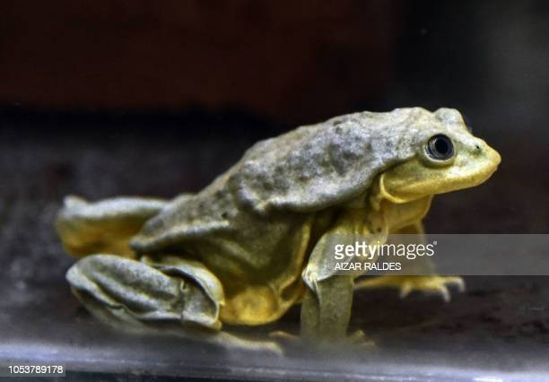A Titicaca water frog native to the Titicaca lake is pictured in Cochabamba Bolivia on August 07 2018 This endangered frog distinctive for its...