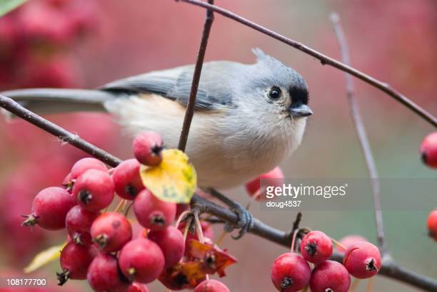 Titmouse Bird Perched on Crabapple Branch