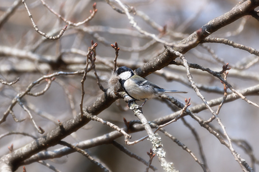 A Titmouse Holding Ingredients Making a Nest - gettyimageskorea