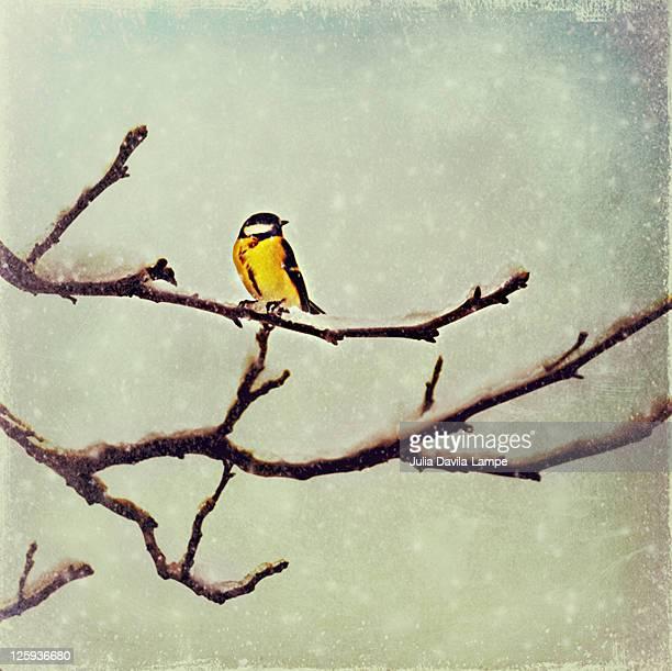 Titmouse on snowy tree