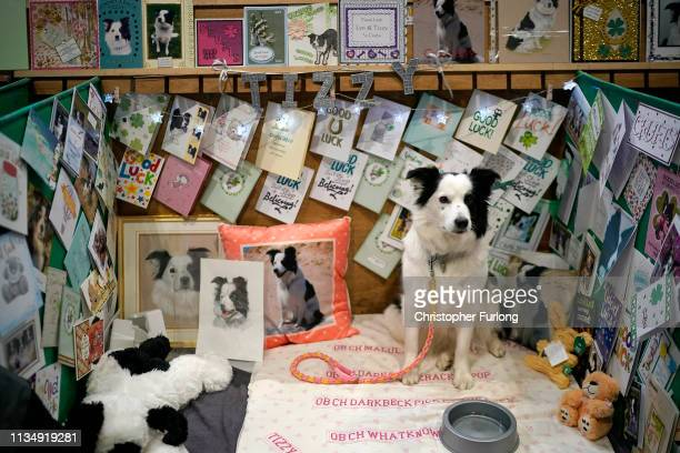 Tizzy who is taking part in the obedience class is surrounded by good wishes on the fourth day of Crufts Dog Show at National Exhibition Centre on...