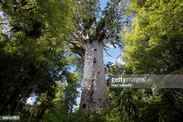 Tāne Mahuta, the giant kauri tree in the Waipoua Forest of Northland Region, New Zealand
