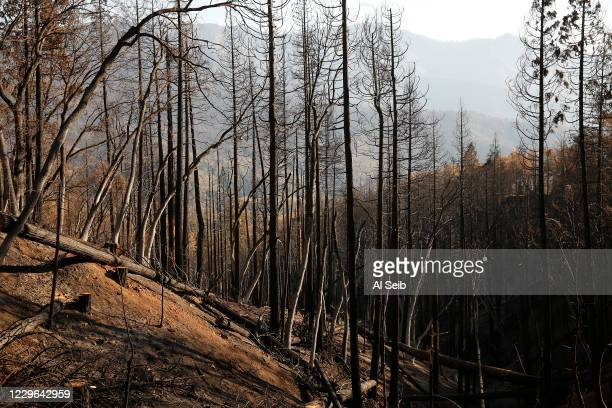 To 70-year-old conifers turned into black sticks, along Highway 190 near the fire-ravaged mountainside of the McIntyre Grove, one of the monument...