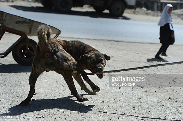 To go with AfghanistananimalFEATURE by Edouard Guihaire In this photograph taken on June 24 Afghan municipal workers catch a stray dog with a steel...