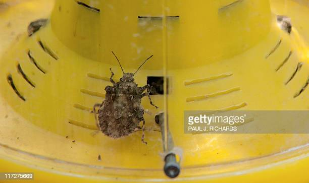 To go With AFP Story by Kerry Sheridan The brown marmorated stink bug an invasive insect species from Asia is seen in a trap on the Catoctin Mountain...