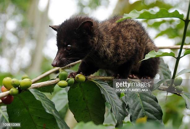 LifestyleIndonesiafoodcoffeeFEATURE by Alvin Darlanika SoedarjoA wild civet gathers ripe Arabika coffee fruits at a coffee plantation producing the...