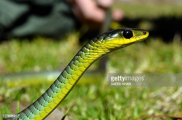 To go with AFP story LifestylewildlifeanimalsAustraliasnakesFEATURE by Madeleine COOREY This picture taken on August 5 2013 shows a green tree snake...
