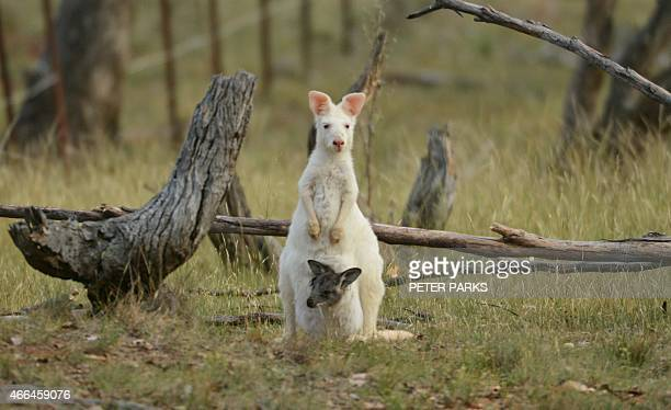 To go with AustraliaanimalwallarookangarooconservationFEATURE by Glenda KWEK This photo taken on February 9 2015 shows a 15metre tall albino wallaroo...