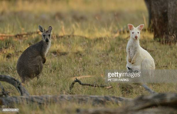 To go with AustraliaanimalwallarookangarooconservationFEATURE by Glenda KWEK This photo taken on February 9 shows a 15metre tall albino wallaroo with...