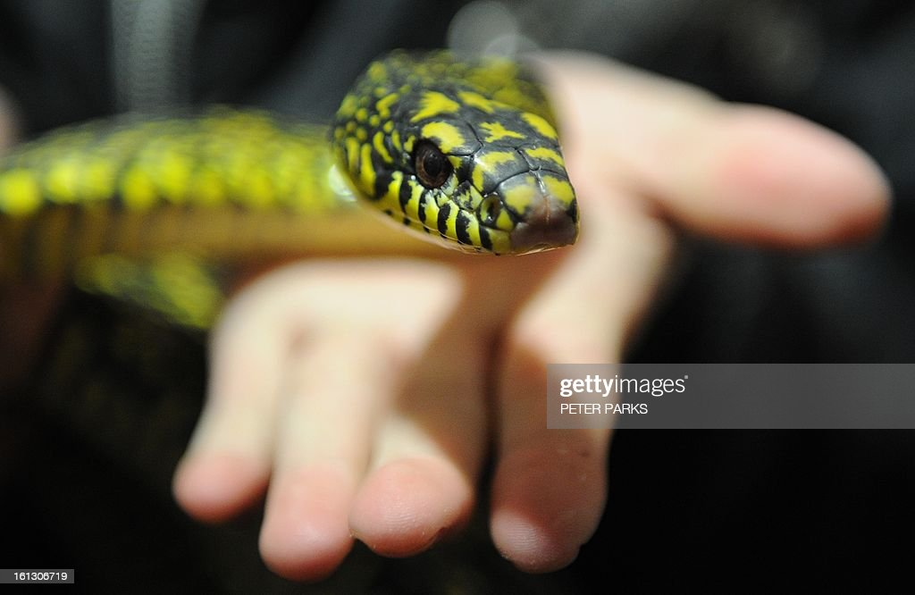 CHINA-LUNAR-ANIMAL-SNAKE : News Photo