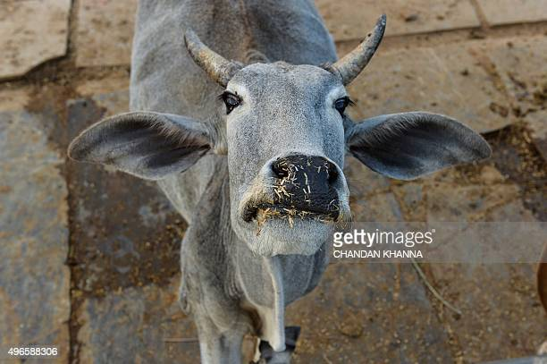 To go with IndiapoliticsreligionbeefFOCUS by Abhaya SRIVASTAVA In this photograph taken on November 5 a cow looks on at a cow shelter owned by...