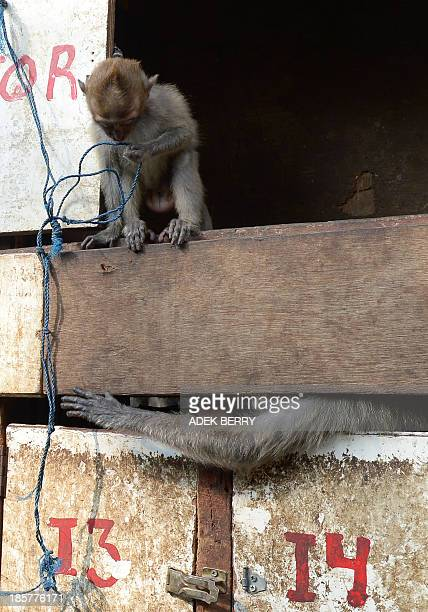 To go with IndonesiaanimalrightsmonkeyFOCUS by PRESI This photo taken in Jakarta on October 24 2013 shows monkeys kept in small wooden cages in a...