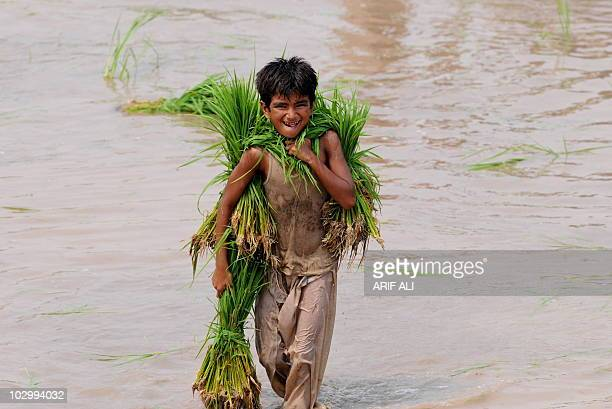 To go with Pakistan-India-diplomacy-water,FOCUS by Waqar Hussain In this photograph taken on July 9 a Pakistani youth carries rice saplings at a...