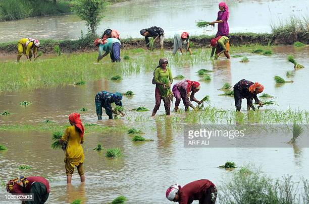 To go with Pakistan-India-diplomacy-water,FOCUS by Waqar Hussain In this photograph taken on July 9 Pakistani women plant rice saplings at a...