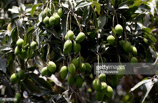 To go with 'PAKISTANINDIAECONOMYAGRICULTUREEXPORTMANGO' by Khurram SHAHZAD In this photograph taken on May 11 mangoes hang on a tree at a fruitfarm...