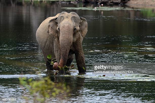 To go with ' Sri LankaTourismEnvironmentWildlifeLeopards' FEATURE by Peter Hutchison In this photograph taken on August 16 a Sri Lankan elephant...