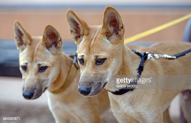 to go with the AUSTRALIAANIMALDINGO feature by MADELEINE In this photo taken on October 12 2013 18monthold dingo pups female 'Marle' and male...