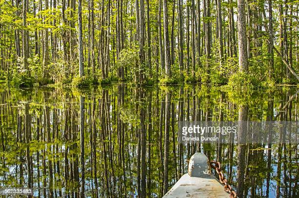 to the swamp - bald cypress tree stock photos and pictures