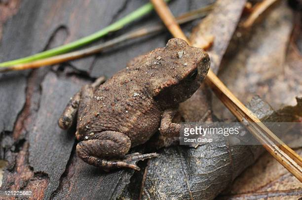 A toad approximately 15mm long makes its way among fallen leaves and branches in a forest near Schlachtensee Lake on August 15 2011 in Berlin Germany...
