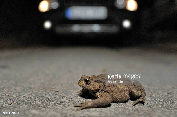 Toad migration, Common Toad -Bufo bufo- on the street in front of a car