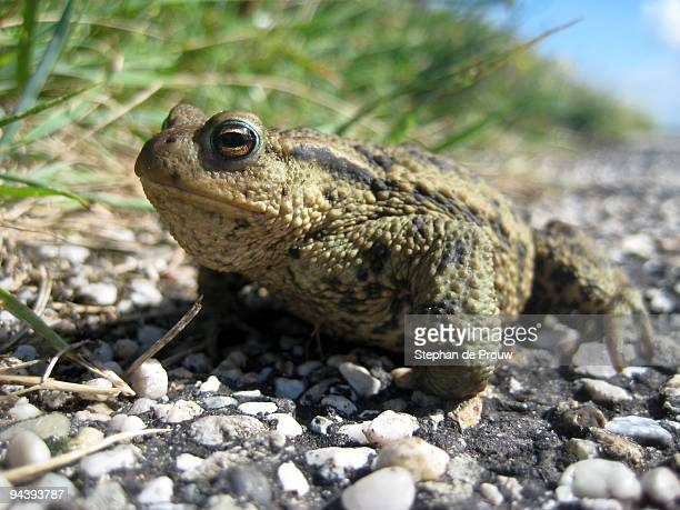 toad on the road - stephan de prouw stock pictures, royalty-free photos & images