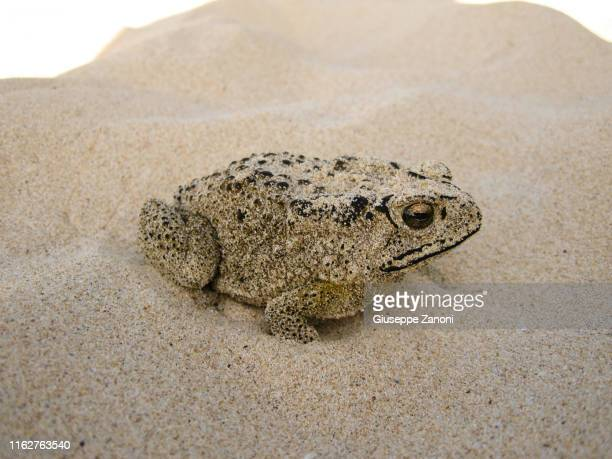 toad - cane toad stock pictures, royalty-free photos & images