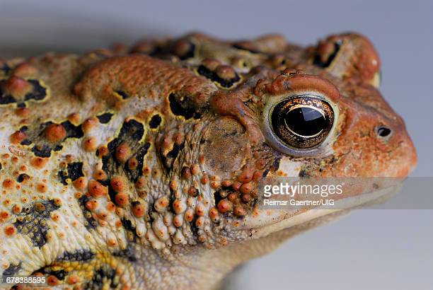 toad - wart stock photos and pictures