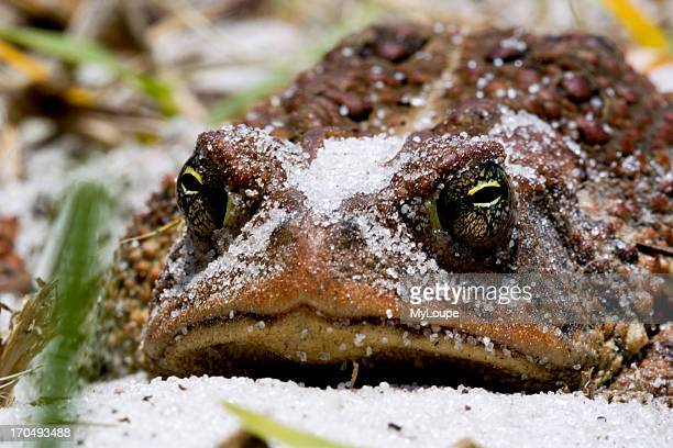 Toad Resting On Sandy Beach Of Lake Wier Florida USA