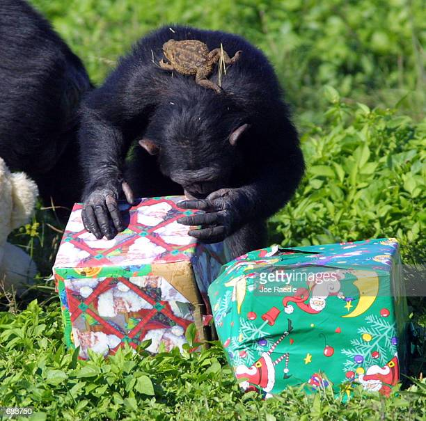 A toad sits on the back of a chimpanzee as the chimp inspects a present that was delivered by Santa Claus December 21 2001 at the Lion Country Safari...